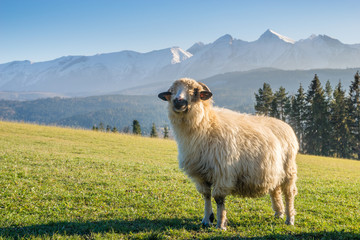 sheep grazing on a mountain meadow