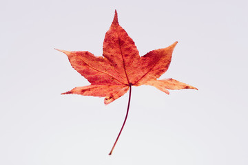 紅葉 落ち葉 楓