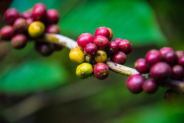 Raw Coffee beans tree