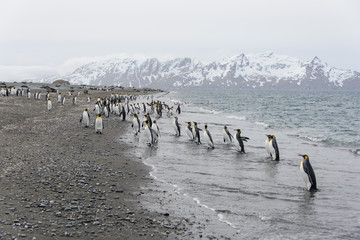 King penguins going from sea