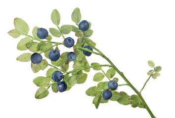 blueberry elevendark berries small branch