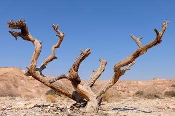 Dead dry tree trunk on arid landscape in Negev desert.