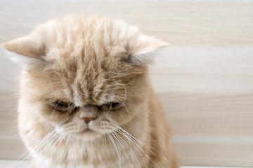 beautiful red sad sad cat exotic breed