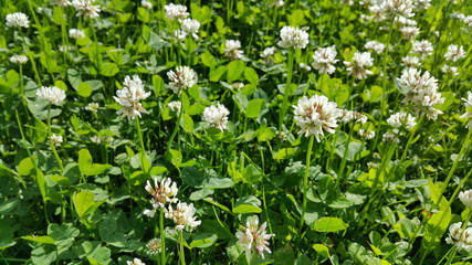 White clover in a summer meadow