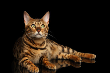 Gold Bengal Cat Lying on isolated Black Background and Curious Looking up, front view