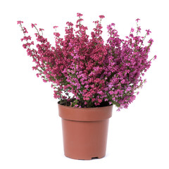 bell heather plant with pink flowers