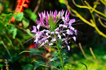 Capparidaceae flower in the garden