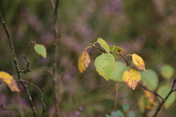 Leaves and twigs of the downy birch (Betula pubescens)
