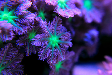 Clavularia glove polyps colony coral