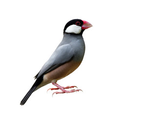 Beautiful Java sparrow (Lonchura oryzivora) Java finch or Rice bird, small grey with pink legs and bills fully standing isolated on white background