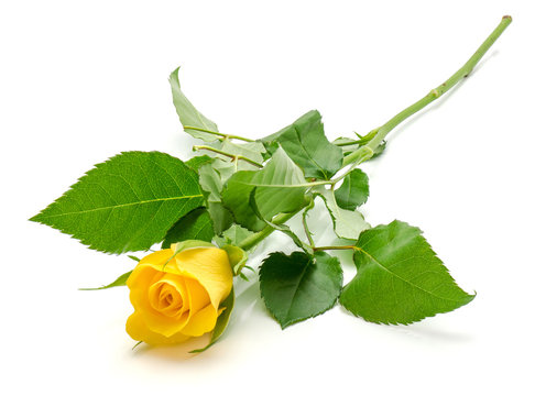 One fresh cut yellow rose isolated on white background.