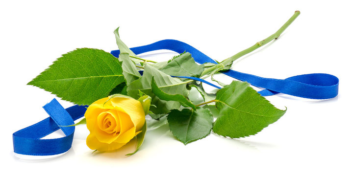 One yellow rose with a silk blue ribbon isolated on white background.