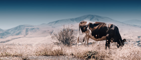 Panoramic view of the Cow Eating Grass In Autumn Pasture in foggy landscape in Georgia