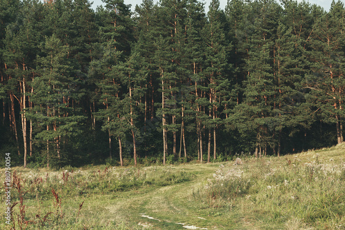 Dense Green And Beautiful Pine Forest Nice Walk On A Trail Summer Day In
