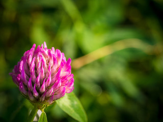 Beautiful pink flwer clover, close-up on green background