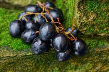 синие ягоды спелого винограда на камнях покрытых мхом