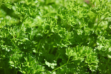Home grown Petroselinum crispum or commonly known as parsley or garden parsley, delicious and healthy herb, vegetable, spice and garnish