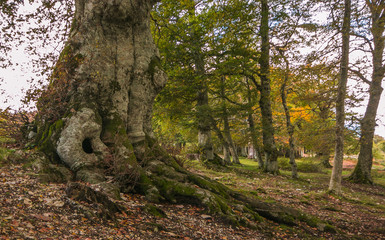 Radici e tronco di un vecchio faggio secolare
