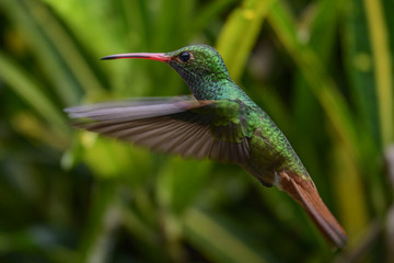 Female Ruby-throated Hummingbird (archilochus colubris) in flight with a green background
