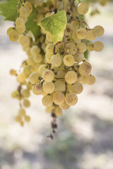 ripe white grapes in a vineyard