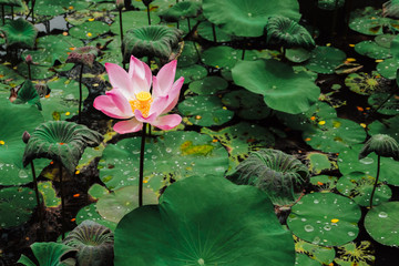 Sacred Lotus flower in lake. Nelumbo Nucifera