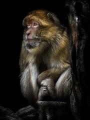 Macaca sylvanus, The Barbary macaque
