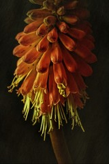 Kniphofia against plain background, close-up