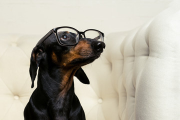 close-up dog dachshund breed, black and tan, with black glasses in his eyes sits in a white armchair and looks up.