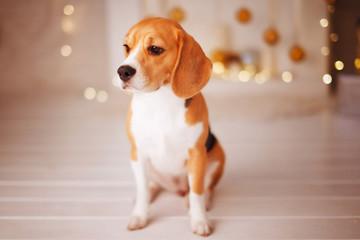 Beautiful beagle dog sitting near the Christmas tree