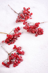 branches of a guelder rose  on snow