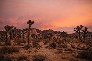 Joshua Tree Pink Sunset in the Hot Desert