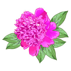 Single pink peony with green leaves