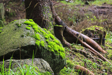 Green moos and lichens on rocks in mountain forest