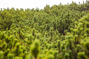Green mountine pine shrubs in Karkonosze Mountines