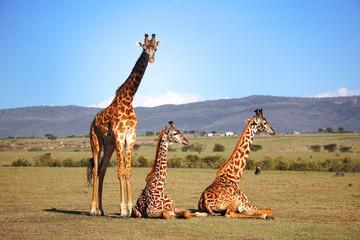 Tres jirafas en Masai Mara Africa