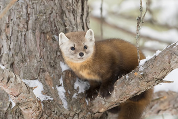 Pine marten (Martes americana) on a snow covered tree branch in Algonquin Park, Canada Wall mural