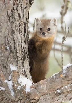 Pine marten (Martes americana) on a snow covered tree branch in Algonquin Park, Canada