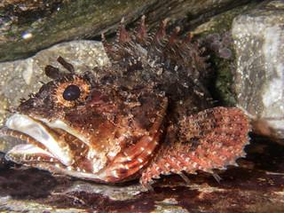 Black sea marine ruff or scorpion-fish  (Scorpaena porcus). Underwater close-up view