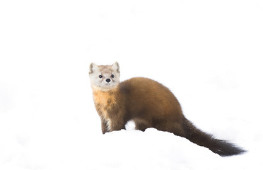 Pine marten (Martes americana) isolated on a white background in the snow in Algonquin Park, Canada Wall mural