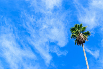 Isolated palm tree with white clouds and blue sky with room for text