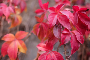 Red Ivy Leaves in Autumn