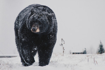 Black Bear in the Snow