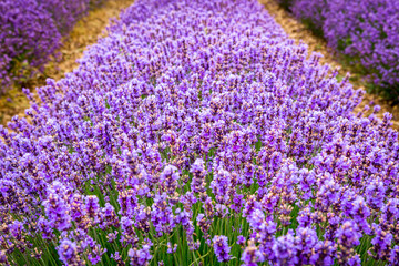 Detail of line of lavender flowers, near Valensole village, Provence, France