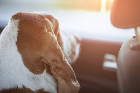 Basset dog waiting anxiously for his owner to arrive from inside the car