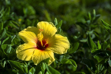 Yellow Hawaiian Hybiscus