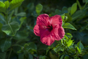 Red Hawaiian Hibiscus