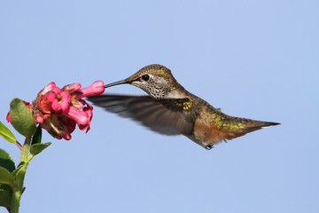 Fotoväggar - Allens Hummingbird (Selasphorus sasin)