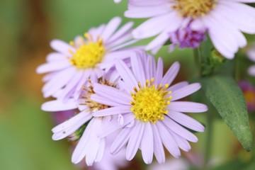 Diasy flower in garden