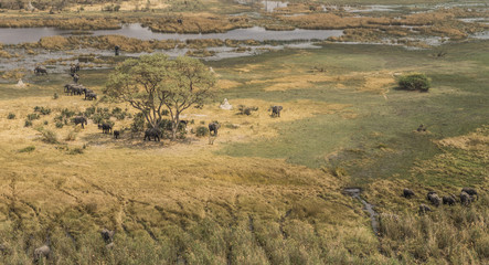Herd of elephants in the Okavango Delta (aerial view)