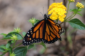 Monarch butterfly pollinating a lantana flower in a sunny garden.